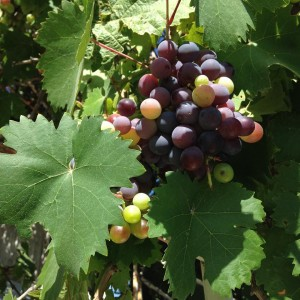 grapes ripening on the vine