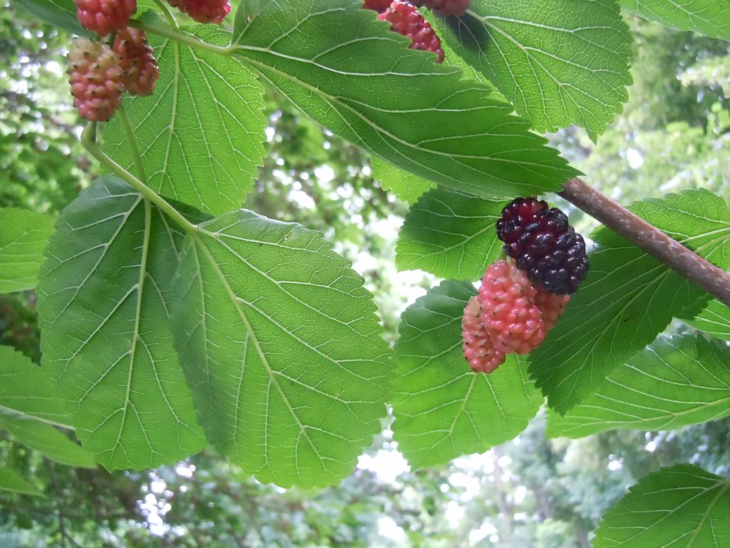 Mulberries at different stages of ripeness