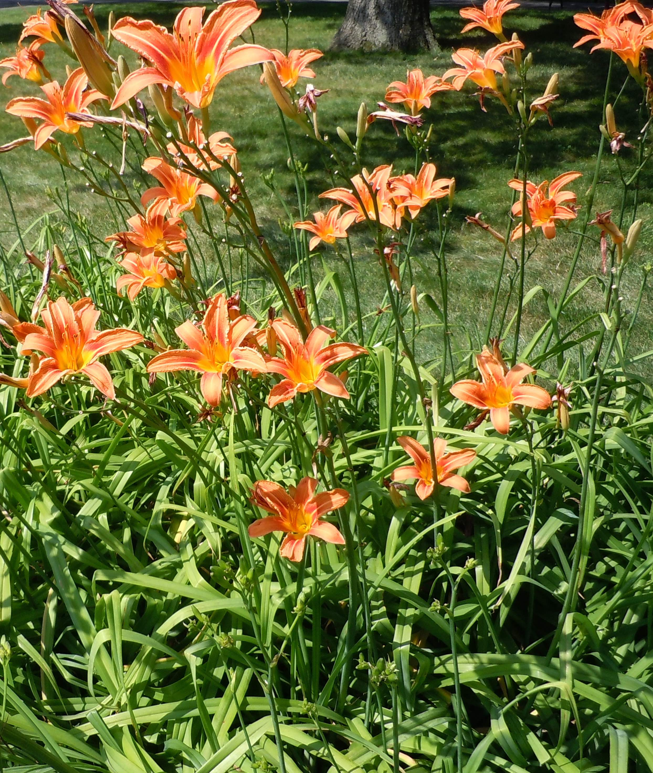Daylily a foragers delight with 4 edible parts leda meredith izmirmasajfo